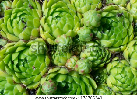 Sempervivum, echeveria flowers #1176705349