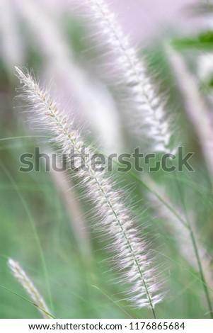 Beautiful white grass and light breeze #1176865684