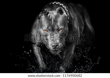 Pitbull Bully Dog black Background yellow eyes