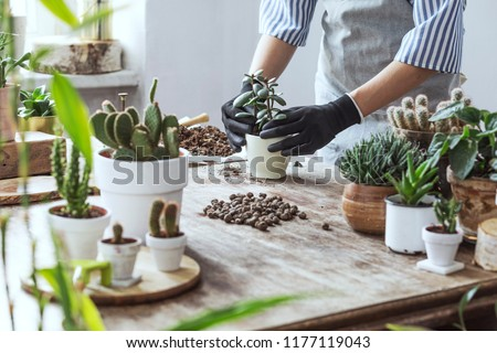 Woman gardeners hand transplanting cacti and succulents in cement pots on the wooden table. Concept of home garden. #1177119043