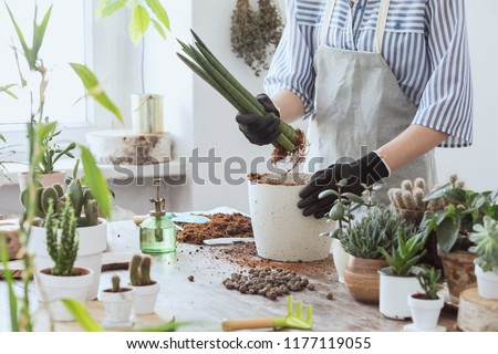 Woman gardeners hand transplanting cacti and succulents in cement pots on the wooden table. Concept of home garden. #1177119055
