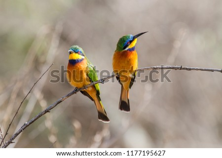 Blue-breasted bee-eater in Lake Langano in Ethiopia #1177195627