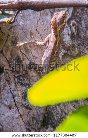 Amazing Bell's forest dragon lizard (Gonocephalus bellii or Calotes mystaceus) is change its skin color from greenish-grey to brown with deep brown stripes to camouflage with the tree bark background. #1177384489