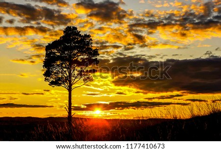Sunset field tree silhouette panorama. Sunset tree silhouette in sunset field horizon. Sunset tree silhouette view #1177410673