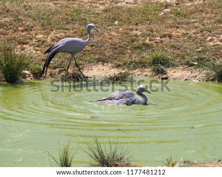 Photography that is showing a blue crane (scientific name: Grus paradisea)  #1177481212