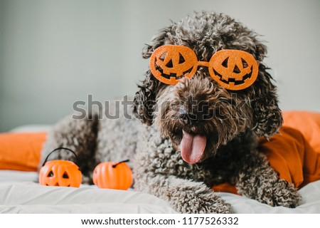 Sweet and friendly brown spanish water dog playing in the bed of his owner with halloween costume. Funny moments dogfriendly. Lifestyle #1177526332