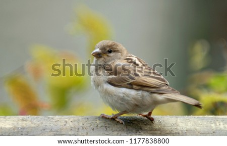 House sparrow (Passer domesticus) family sparrows (Passeridae) - Europe
