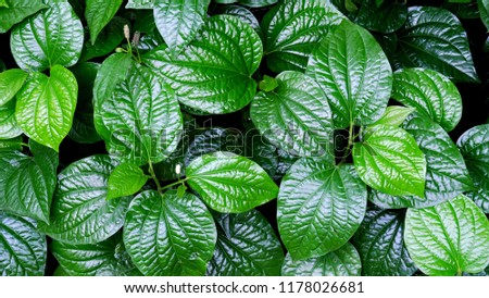 Close up wild betel leafbush plant growing and covering ground in botanical garden with a perfectly leaves #1178026681