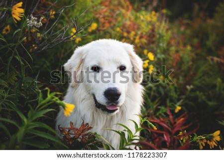Portrait of gorgeous maremma sheepdog at sunset. Close-up of Big white fluffy dog breed maremmano abruzzese shepherd sitting in the bright flowers and grass in the forest in fall #1178223307