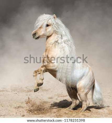 Palomino American Miniature Horse with long mane rearing in paddock in dust. #1178231398