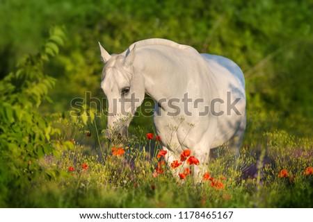 Beautiful arabian horse in poppy flowers #1178465167