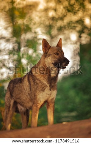 Beautiful and young dog in evening nature, forest in a nice day. Photo with selective focus, soft toning. Portrait of a brown dog. Dog posing in the autumn park. A place for your inscription. #1178491516
