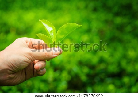 Hand picking up green tea leaves at a tea plantation. Fresh tea leaves in a tea farm in Sri Lanka #1178570659