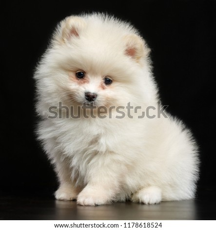 Pomeranian spitz Dog on Isolated Black Background in studio #1178618524
