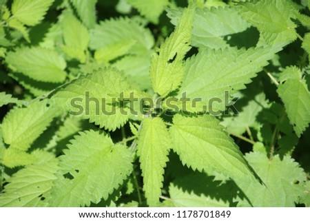 Nettle Brennessel Flowers #1178701849