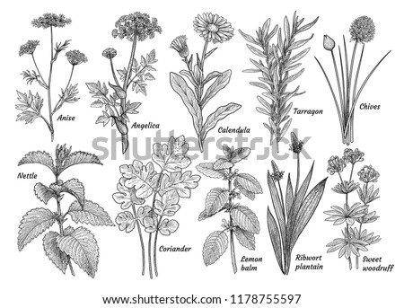 Herbs, spices, plants collection, illustration, drawing, engraving, ink, line art, vector #1178755597