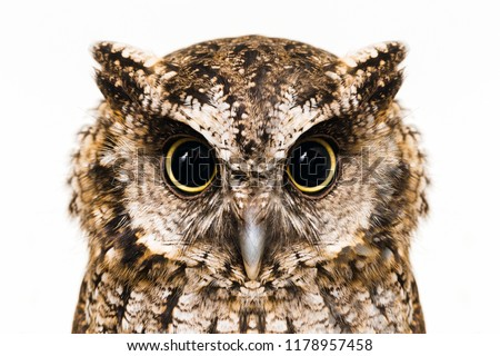 Photo of an Owl in macro photography, high resolution photo of owl cub. The bureaucratic owl, also called field-buckthorn, field owl, owl-owl, buck-owl, owl-owl, guede, urucura, urucurian and urucuriá #1178957458