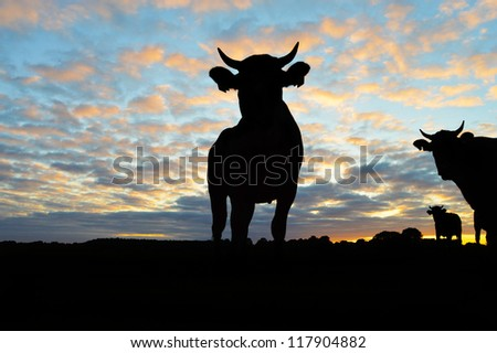 Silhouette of Cows - Cattle during sunset #117904882
