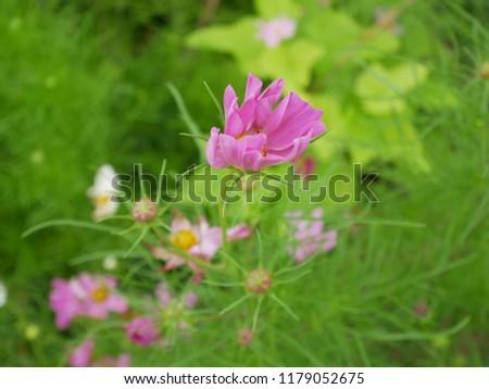 Autumn's visit, Cosmos flowers #1179052675