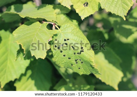 Hazelnut tree green leaves detail close up #1179120433