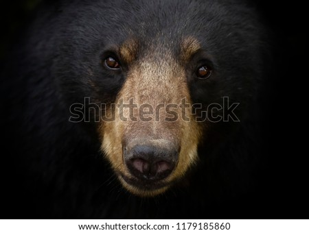 American Black bear face up close in the meadow in autumn in Canada
