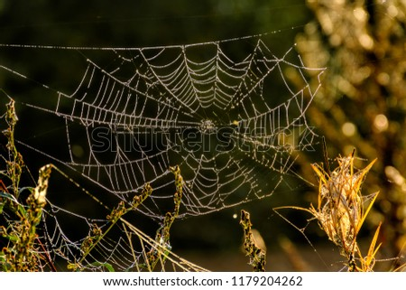 Covered with droplets of dew a cobweb. Early autumn morning.  #1179204262