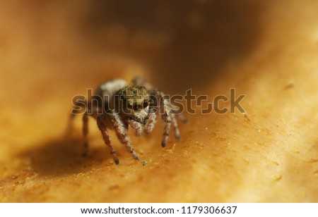 little cute brown jumping spider on mushroom #1179306637