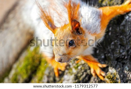 Squirrel on tree. Squirrel portrait. Squirrel close up. Forest squirrel #1179312577