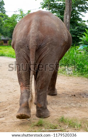 The Asian elephant (Elephas maximus) is a species of proboscidean mammal of the family Elephantidae. It is the largest mammal in the Asian continent. Its original distribution extended from the south  #1179520336
