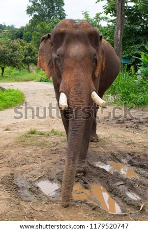 The Asian elephant (Elephas maximus) is a species of proboscidean mammal of the family Elephantidae. It is the largest mammal in the Asian continent. Its original distribution extended from the south  #1179520747
