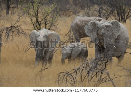 a big elephant family in africa is walking around for eating and drinking water #1179603775