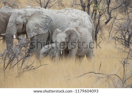 a big elephant family in africa is walking around for eating and drinking water #1179604093