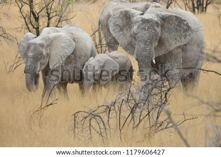 a big elephant family in africa is walking around for eating and drinking water #1179606427