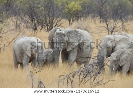 a big elephant family in africa is walking around for eating and drinking water #1179616912