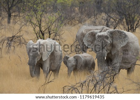 a big elephant family in africa is walking around for eating and drinking water #1179619435