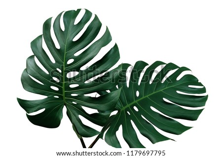 Dark green leaves of monstera or split-leaf philodendron (Monstera deliciosa) the tropical foliage houseplant isolated on white background, clipping path included. Royalty-Free Stock Photo #1179697795
