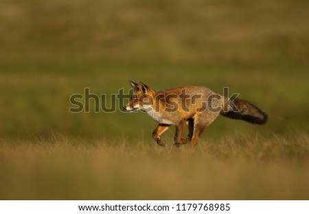 Close up of a Red fox running across the field. #1179768985