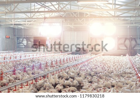Poultry farm with chicken. Husbandry, housing business for the purpose of farming meat, White chicken Farming feed in indoor housing. #1179830218