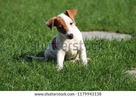 Jack Russell Terrier Puppy #1179943138