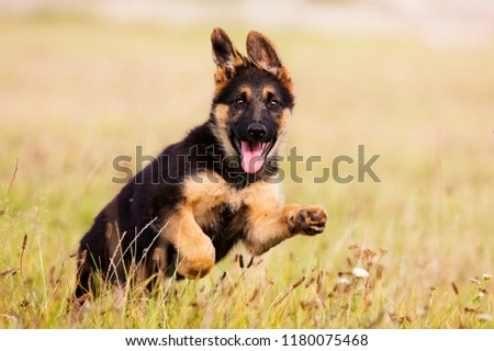 German Shepherd Puppy Runs On The Grass #1180075468