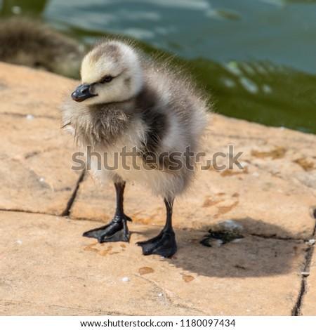 Tiny Gosling on a Path #1180097434