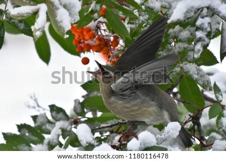 An image of a cedar waxwing bird eating a red rowan berry.  #1180116478