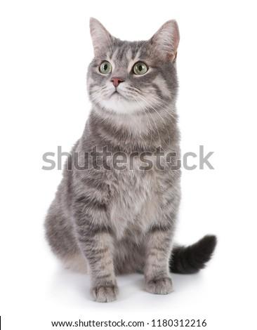 Portrait of gray tabby cat on white background. Lovely pet #1180312216