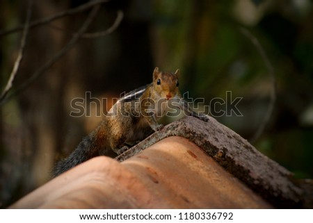 Indian Palm Squirrel on roof top startled seeing a camera focused on him #1180336792