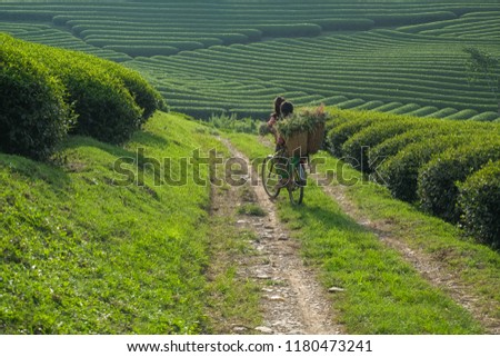ethnic minority children in the tea growing highlands go out at dawn beautiful. Son La - Viet nam. #1180473241