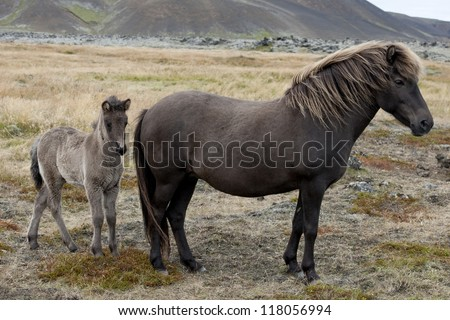 Icelandic horses, mare and foal in a pasture #118056994
