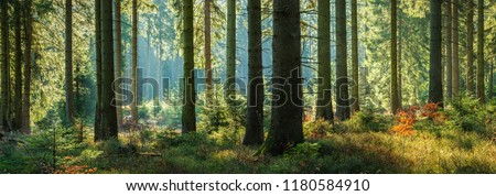 Sunny Panoramic Forest of Spruce Trees in Autumn Royalty-Free Stock Photo #1180584910