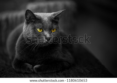The cat is black but the eyes are yellow. Cause and beauty of the cat. #1180610653