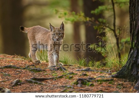 Lynx, Eurasian wild cat walking on green mossy stone with green forest in background. Beautiful animal in the nature habitat, Germany  #1180779721