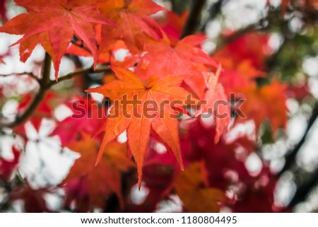 Autumn leaves, maple leaves turn red with branches tree as background. Red maple in rainy day beside kawaguchiko lake, Japan. #1180804495